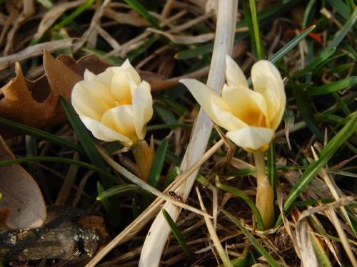 Spring Crocus