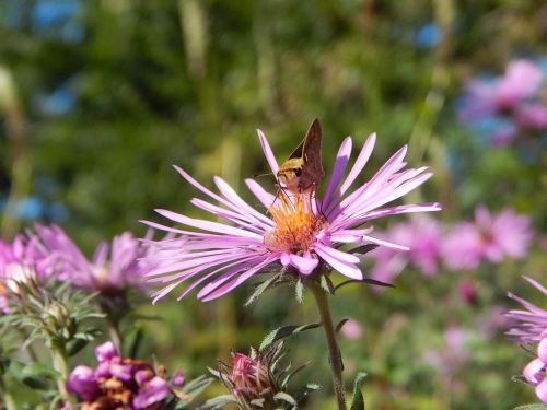 Fiery Skipper on Aster
