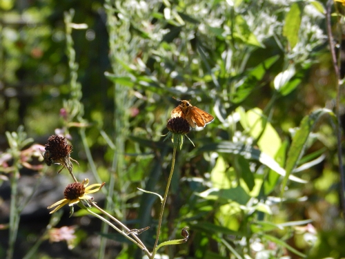 Fiery Skipper in the garden