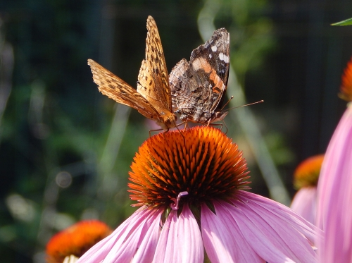 Frittilary and Red Admiral on Echinacea
