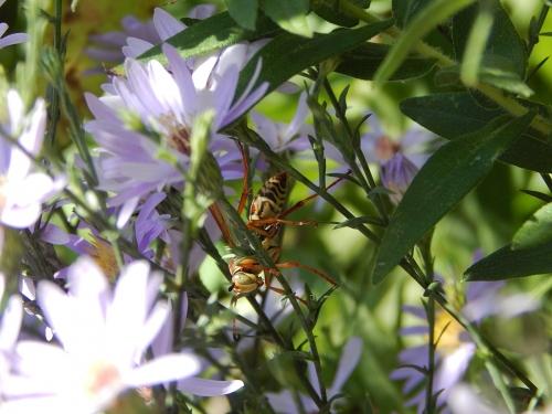 Garden Wasp