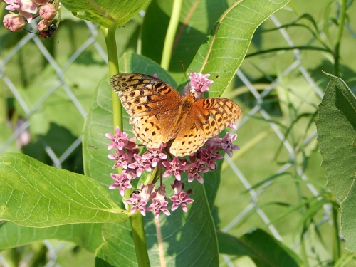 Great Spangled Frittilary on Milkweed